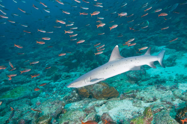 Whitetip Reef Shark & Pacific Creolefish, Cocos Island, Costa Rica