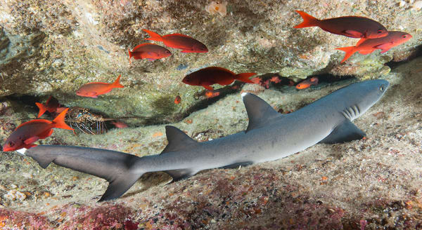 Whitetip Reef Shark Resting & Pacific Creolefish, Cocos Island, Costa Rica