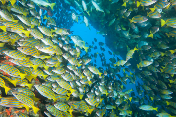 Blue and Gold Snapper, Cocos Island, Costa Rica