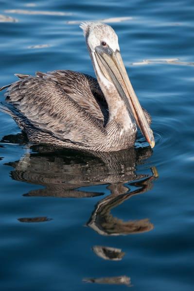 Brown Pelican Reflection, San Pedro, California