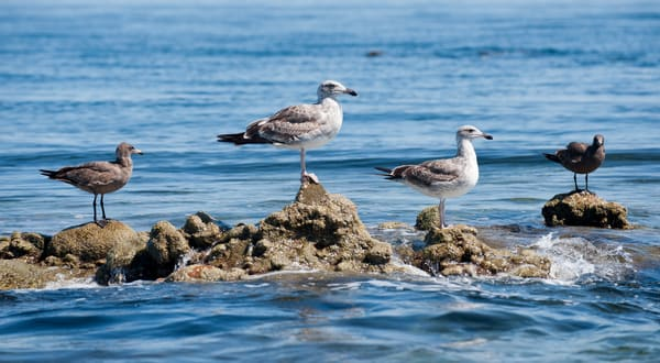 Sea gulls, Sea of Cortez, Mexico