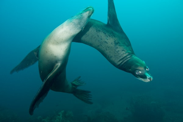 California Sea Lion Play, Sea of Cortez, Mexico