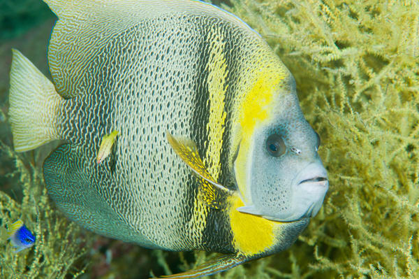 Cortez Angelfish, Sea of Cortez, Mexico