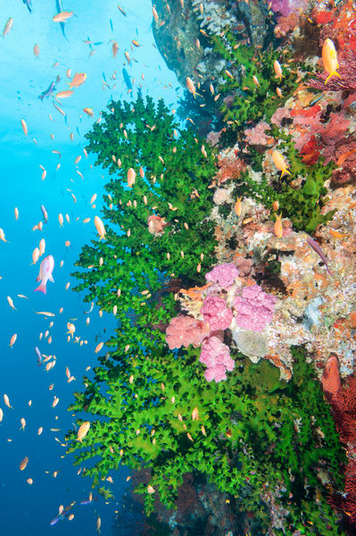 Anthias & Black Sun Corals, Bligh Waters, Fiji