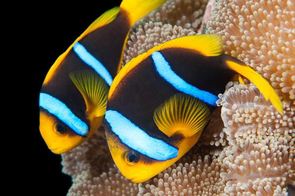 Clark's Anemonefish Pair, Taveuni, Fiji