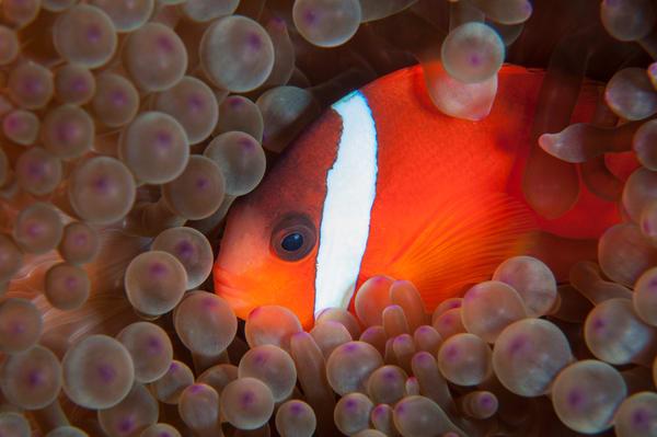 Tomato Clownfish, Taveuni, Fiji