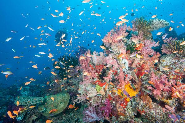Rainbow Reef & Diver, Somosomo Strait, Fiji