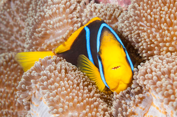 Clark's Anemonefish, Taveuni, Fiji