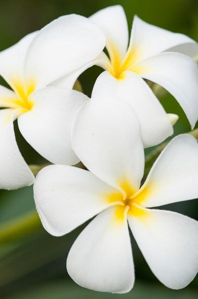 Plumeria Flowers, Rakiraki, Viti Levu, Fiji