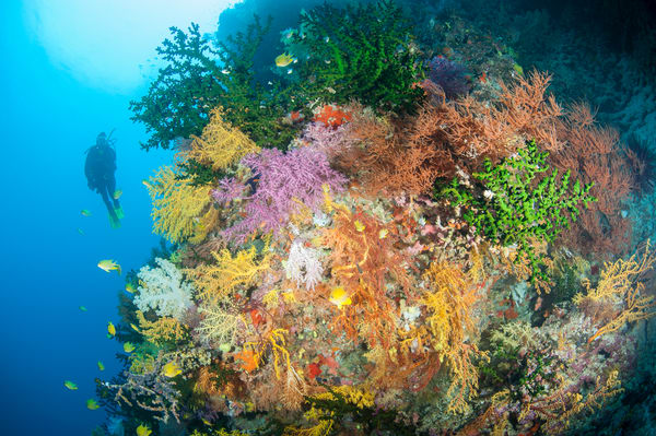 Soft Corals & Diver, Bligh Waters, Fiji