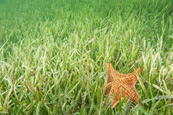 Sea Grass & Red Cushion Sea Star, Gardens of the Queen, Cuba