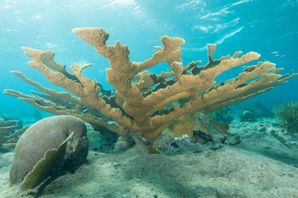 Elkhorn Coral, Gardens of the Queen, Cuba