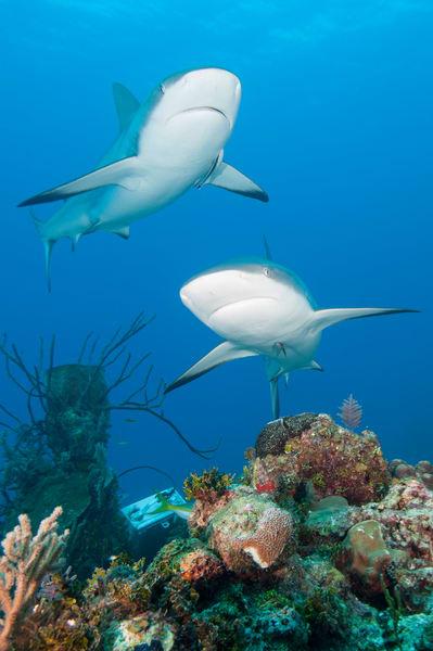 Caribbean Reef Shark Pair, Gardens of the Queen, Cuba