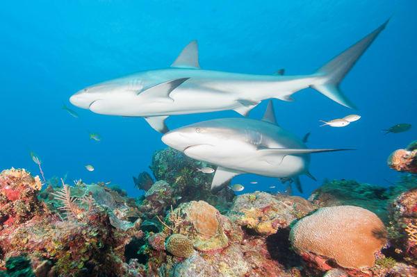 Caribbean Reef Shark Pairing, Gardens of the Queen, Cuba