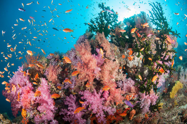 Anthias and Pink Soft Corals, Bligh Waters, Fiji