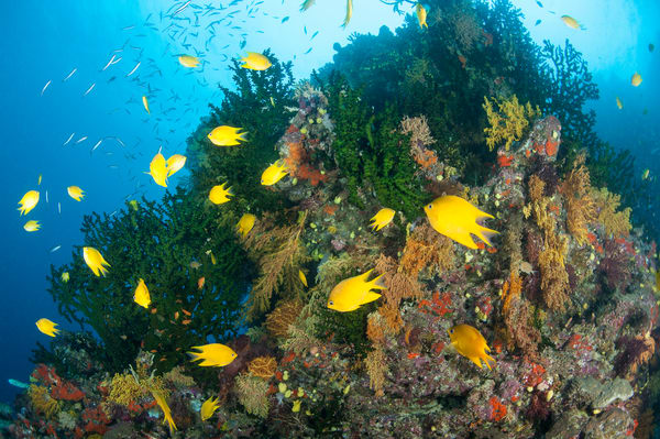 Golden Damsels & Black Sun Corals, Bligh Waters, Fiji
