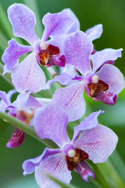 Orchids, Garden of the Sleeping Giant, Nadi, Fiji