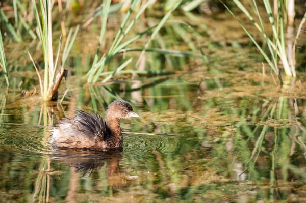 Pied-billed Grebe Ruffled Feathers, Damon, Texas