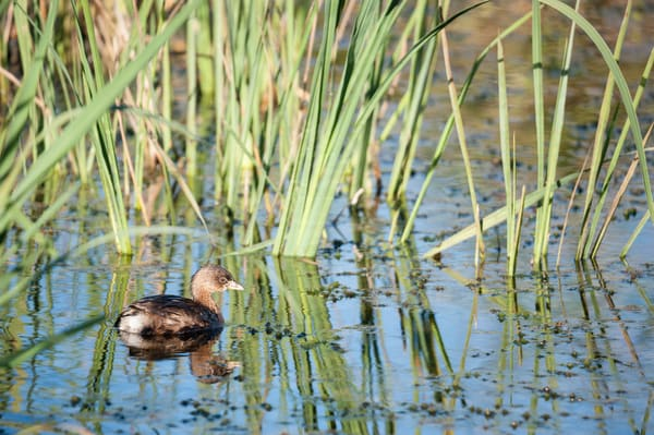 Pied-billed Grebe & Reeds, Damon, Texas