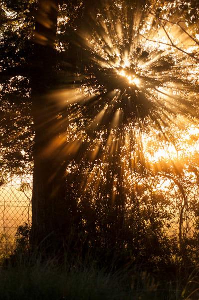 Live Oak & Spanish Moss Sunrise Starburst, Damon, Texas