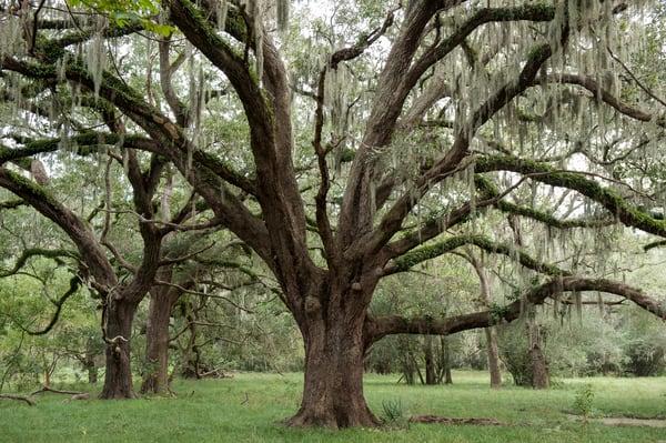 Live Oaks & Spanish Moss, Damon, Texas