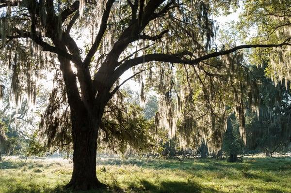 Live Oak & Spanish Moss Backlit, Damon, Texas