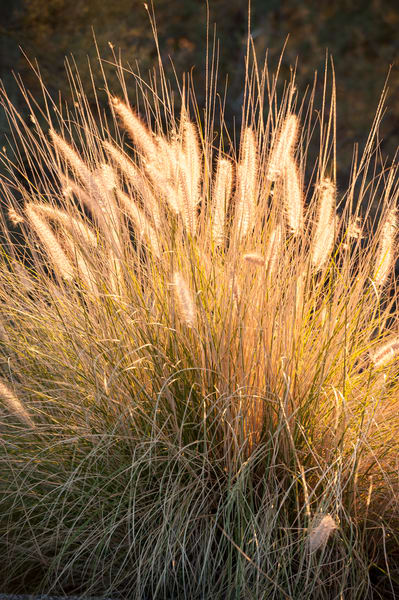 Deer Grass, Tucson, Arizona