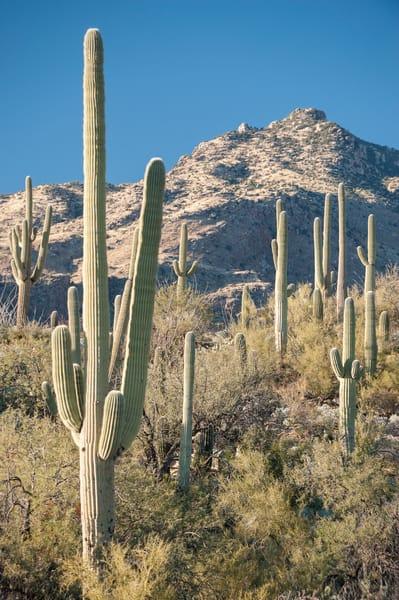 Saguaro Cactus, Sabino Canyon, Tucson, Arizona