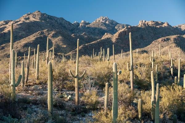 Saguaro Cactus & Mount Lemon, Sabino Canyon, Tucson, Arizona