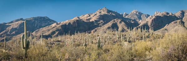 Saguaro Cactus Pano, Sabino Canyon, Tucson, Arizona