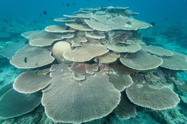 Plate Coral Formation, Rakeedhoo Island, Felidhoo Atoll, Maldives