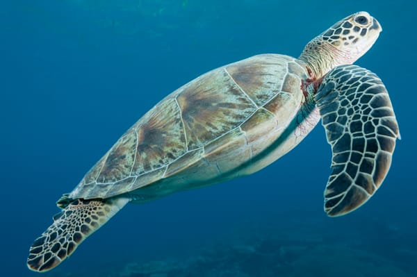 Sea Turtle Swimming, Huvadhoo Atoll, Maldives