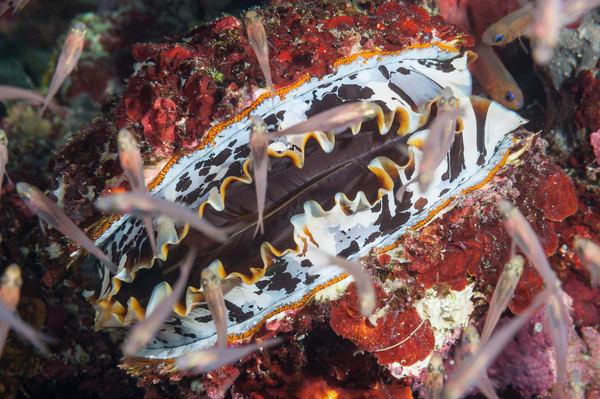 Thorny Oyster & Glassfish, Laamu Atoll, Maldives