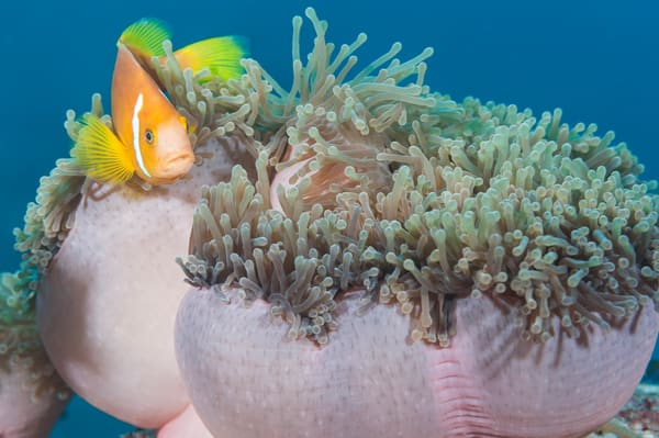 Blackfinned Anemonefish, Laamu Atoll, Maldives