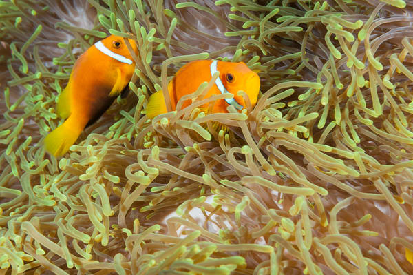 Blackfinned Anemonefish Pair, Laamu Atoll, Maldives