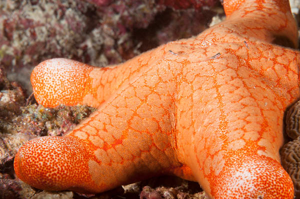 Cushion Star & Gobies, Huvadhoo Atoll, Maldives