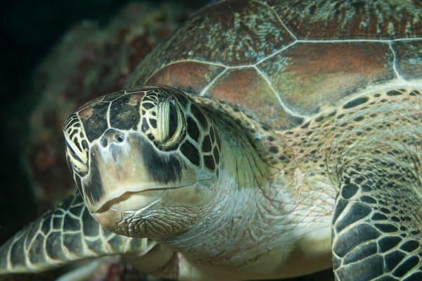 Sea Turtle Portrait, Huvadhoo Atoll, Maldives