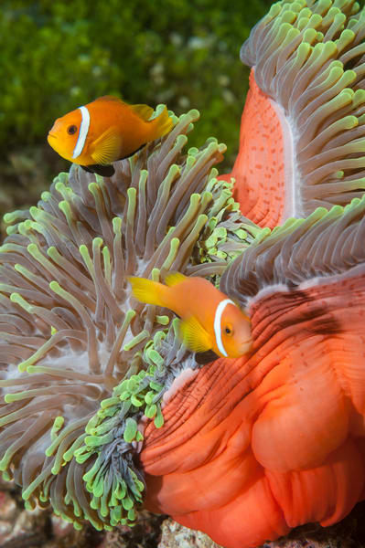 Blackfinned Anemonefish Pair, Huvadhoo Atoll, Maldives