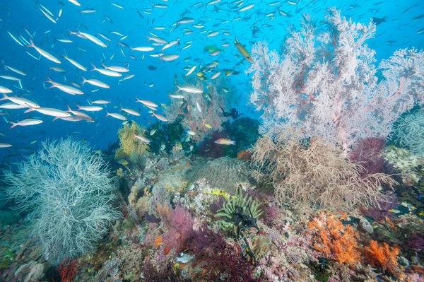 Ruddy Fusilier School & Soft Corals, Raja Ampat, Indonesia