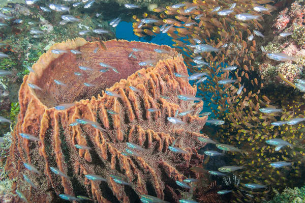 Golden Sweeper, Glassfish & Barrel Sponge, Papisoi, Indonesia