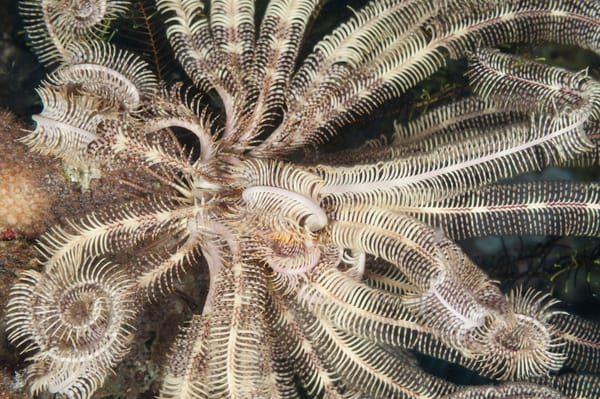 Feather Star Pattern, Raja Ampat, Indonesia