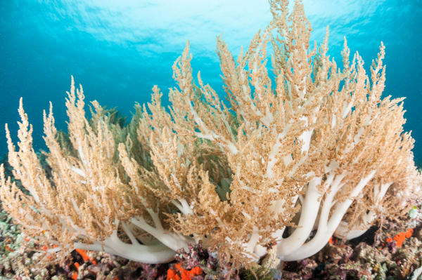 Soft Corals in Blue Water, Pisang Islands, Indonesia