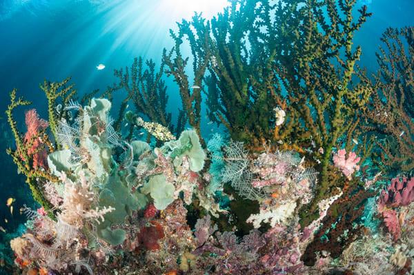 Scrawled Filefish & Black Sun Corals, Raja Ampat, Indonesia