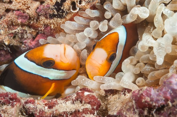 Clark's Anemonefish Pair, Kaimana, Indonesia