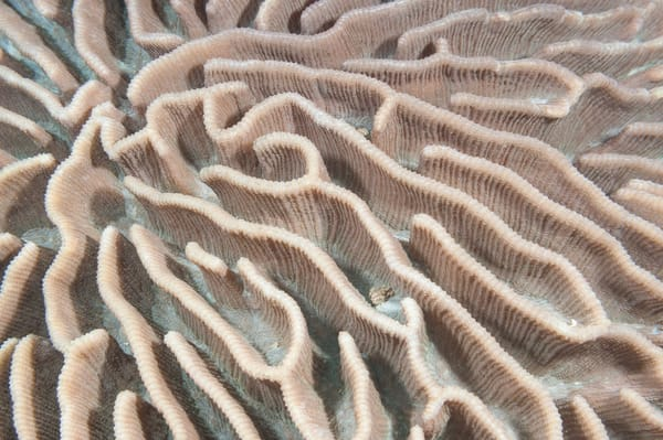 Brain Coral Detail, Fakfak, Indonesia