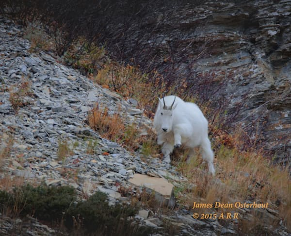Glacier Goat Photography Art by Swan-Valley-Photo.com
