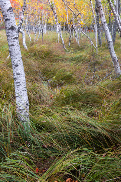 The Sieur De Mont woodlands of Acadia National Park Maine | Birches of Great Meadow