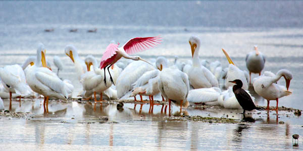2830 Spoonbill And White Pelicans Art | Cunningham Gallery