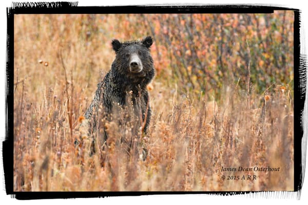 Grizzly, boar,subadult