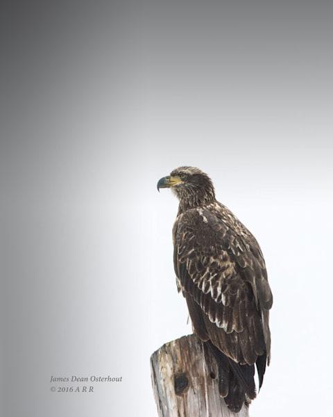 Eagles,bald,juvenile